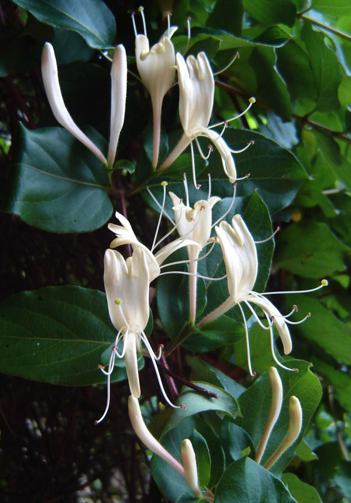 Japanese honeysuckle - Lonicera japonica 26