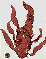 Red Alga - Grateloupia doryphora (13)