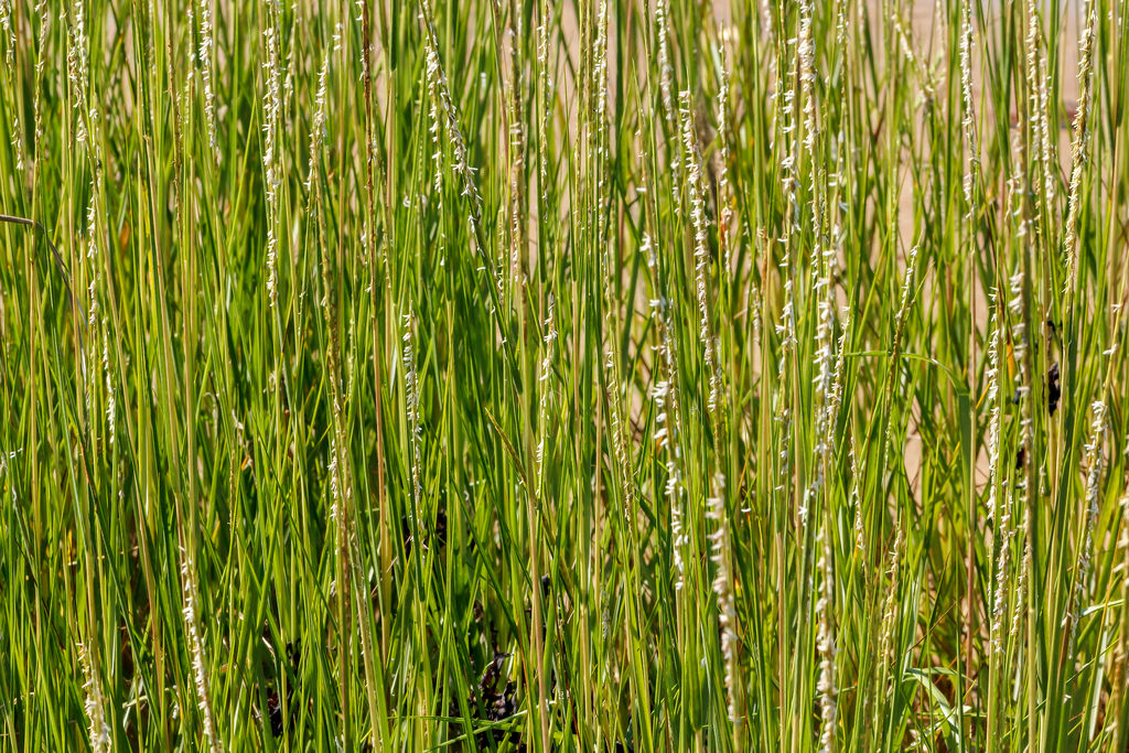 smooth cordgrass 1