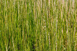smooth cordgrass 1