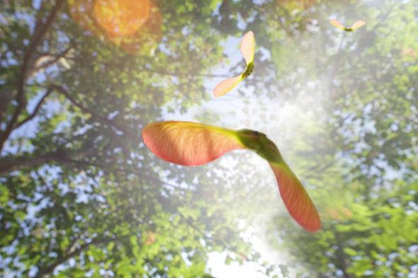 Sycamore - Acer pseudoplatanus 33