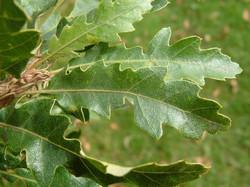 Turkey oak - Quercus cerris 26