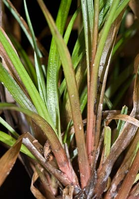 Broad leaved rush - Juncus planifolius 18