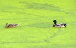 Least duckweed - Lemna minuta 5
