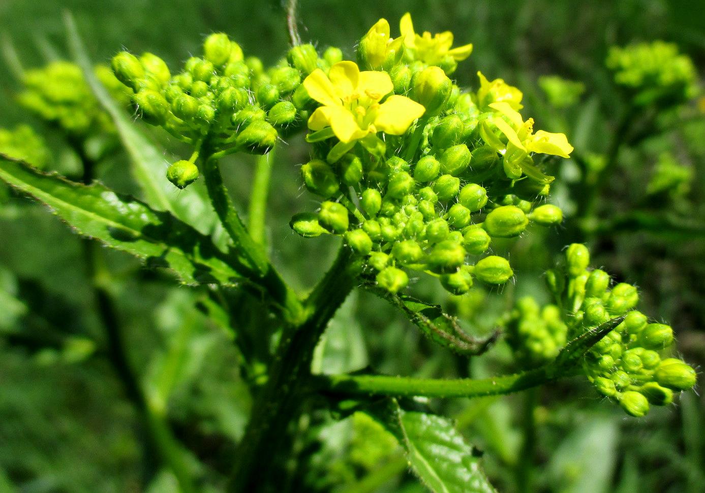 Warty cabbage - Bunias orientalis 40