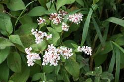 Lesser Knotweed (Persicaria campanulata) 7