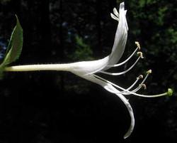 Japanese honeysuckle - Lonicera japonica 8