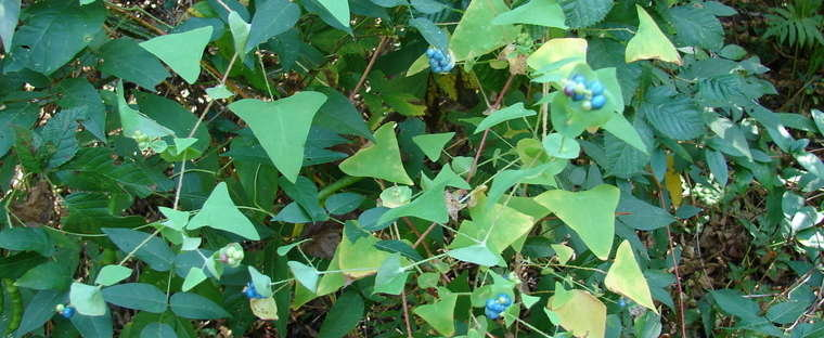Mile-a-Minute_Weed_-Persicaria_perfoliata_5