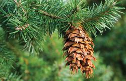 Douglas fir - Pseudotsuga menziesii 28