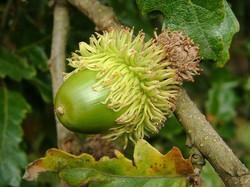 Turkey oak - Quercus cerris 25