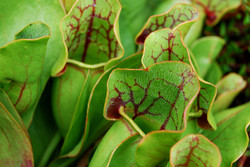 Pitcherplant - Sarracenia purpurea 9