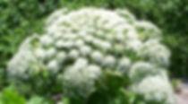 Giant hogweed Heracleum mantegazzianum flower
