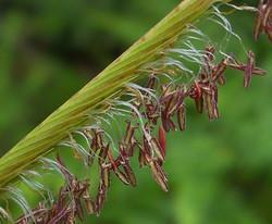 Prarie cordgrass - Spartina pectinata 5