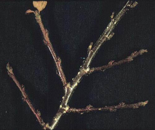 Rock cotoneaster - Cotoneaster horizontalis 12