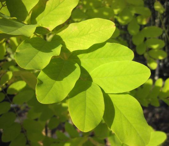 False acacia - Robinia pseudoacacia 53