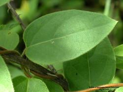 Japanese honeysuckle - Lonicera japonica 35