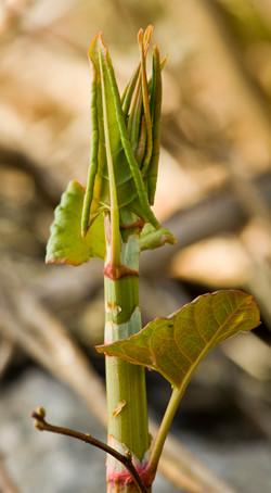 japanese knotweed leaves and stalk