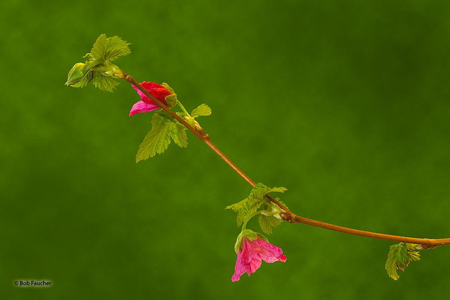 Salmonberry_-Rubus_spectabilis_53