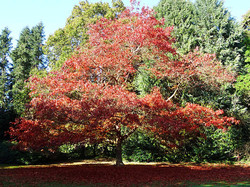 Red oak - Quercus rubra 8
