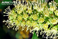 Sycamore - Acer pseudoplatanus 34