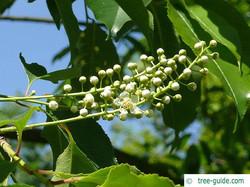 Rum cherry - Prunus serotina 11