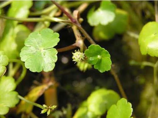 Floating Pennywort - Hydrocotyle ranunculoides (4)