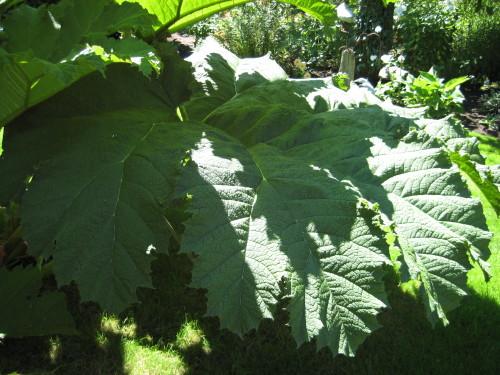Giant Rhubarb - Gunnera tinctoria leaf