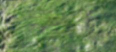 Dwarf Eelgrass - (Zostera japonica)