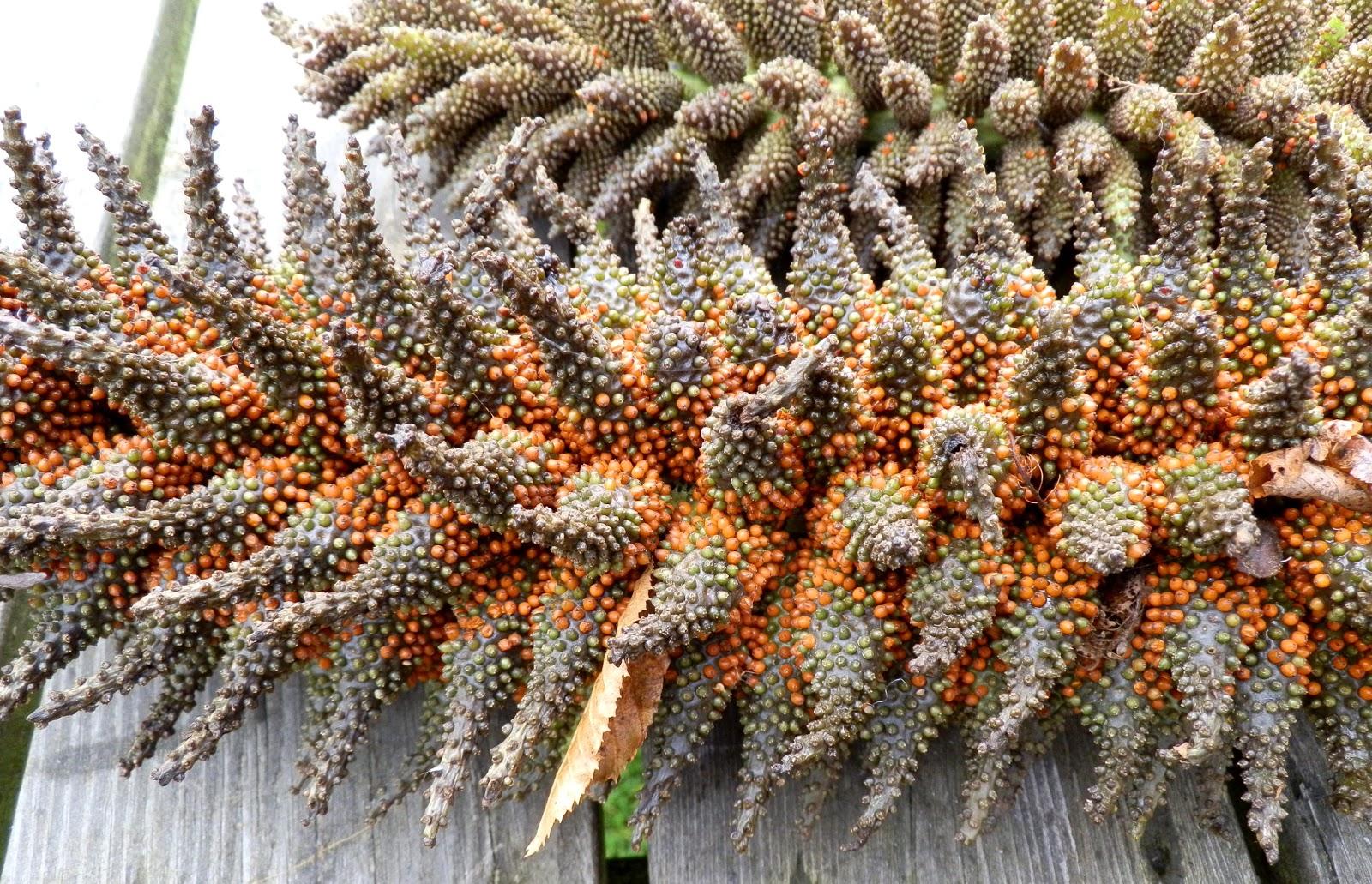 Giant Rhubarb - Gunnera tinctoria seeds 3