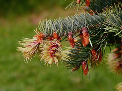 Douglas fir - Pseudotsuga menziesii 27