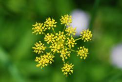 Wild parsnip - Pastinaca sativa 13