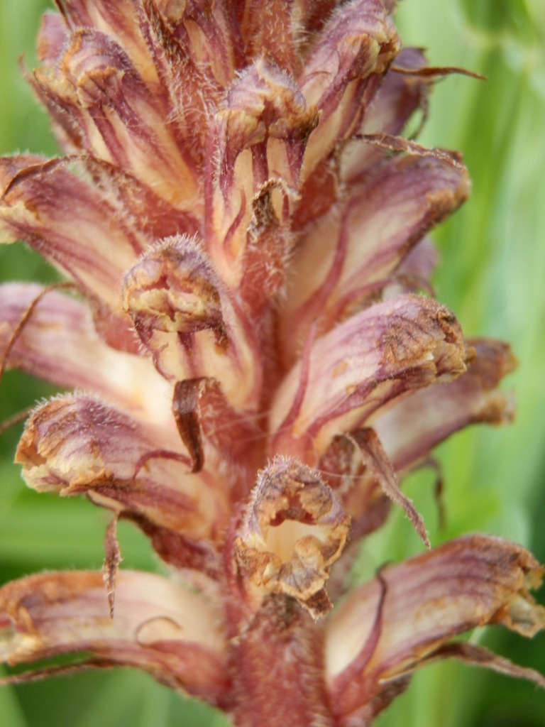 Clover broomrape - Orobanche minor 17