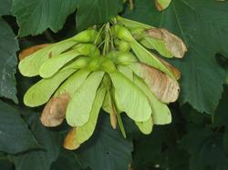 Sycamore - Acer pseudoplatanus 45