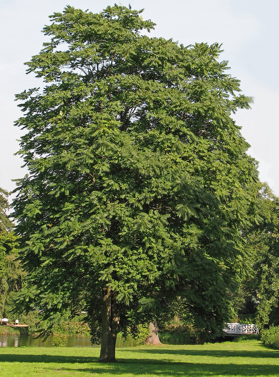Tree of heaven - Ailanthus altissima 16