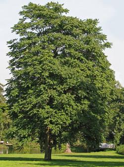 Tree of heaven - Ailanthus altissima 16