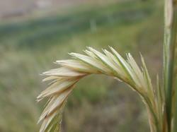 Alkali cordgrass - Spartina gracilis 6