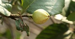 Black currant - Ribes nigrum 2