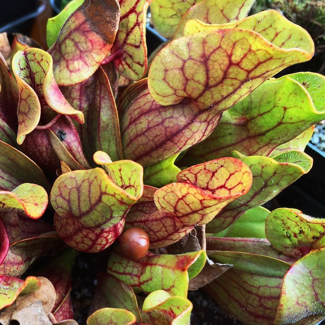 Pitcherplant - Sarracenia purpurea 8