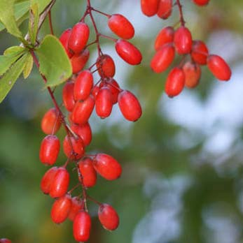 Barberry - Berberis vulgaris 30