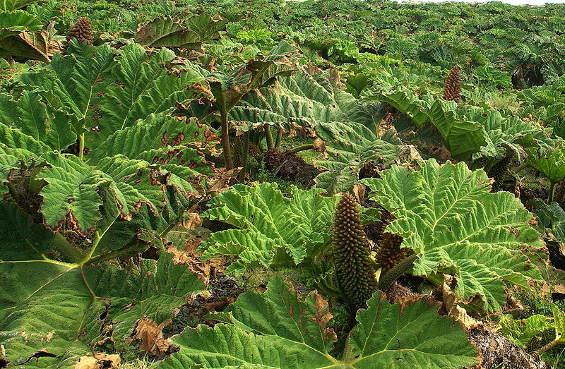 Giant Rhubarb - Gunnera tinctoria flowering