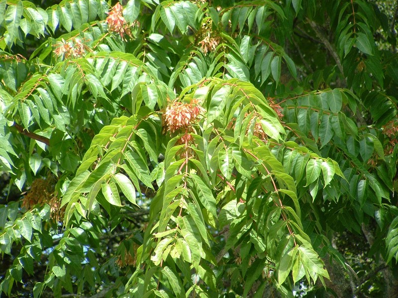 Tree of heaven - Ailanthus altissima 3