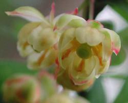 Japanese barberry - Berberis thunbergii 20