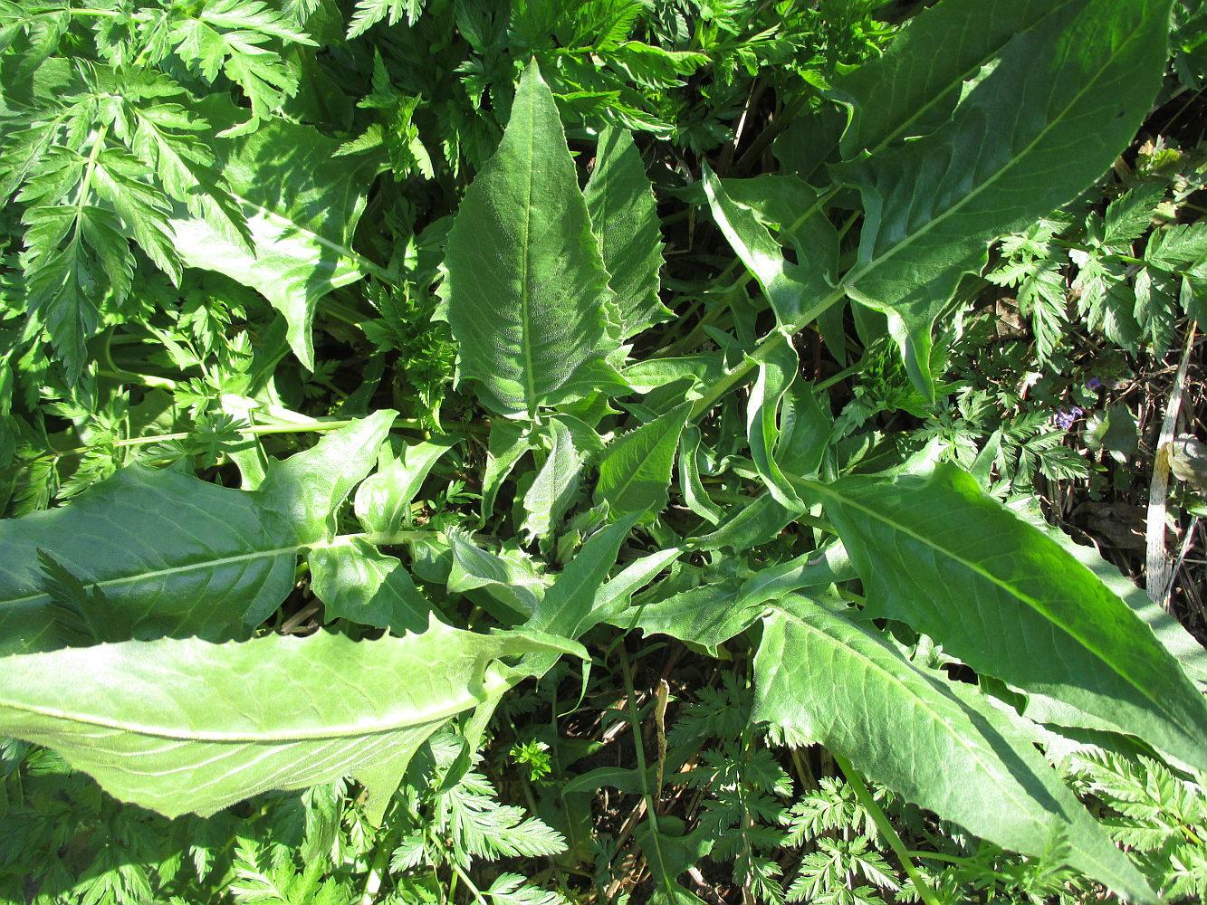 Warty cabbage - Bunias orientalis 37