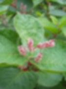 Dwarf Knotweed Leaf and Flower