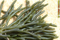 Dead man's fingers - Codium fragile ssp. tomentosoides 11