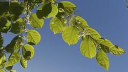 Japanese_Knotweed_-Fallopia_japonica_Leaf_&_Flower