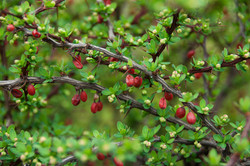 Japanese barberry - Berberis thunbergii 21