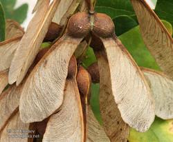 Sycamore - Acer pseudoplatanus 14