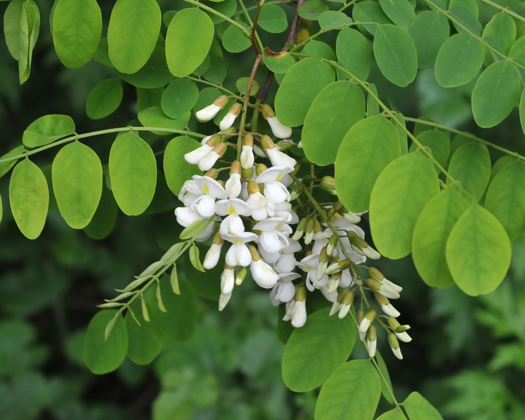 False acacia - Robinia pseudoacacia 43