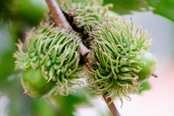 Turkey oak - Quercus cerris 9
